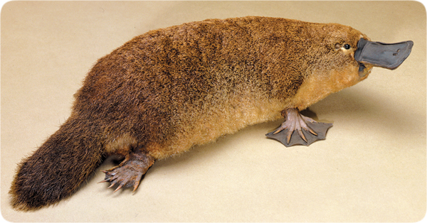 Platypus beak - photo#8